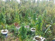 Nielegalna plantacja konopi na nieużytkach