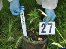 Plantacja marihuany nad jeziorem