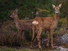 Olsztyńskie Lasy Państwowe ruszają ze sprzedażą bezpośrednią. Mięso z dzika czy sarny wprost od leśnika