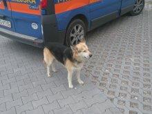 Kolejny pies błąkał się po mieście. Poznajesz go?
