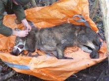 Uratowali wilka, który wpadł w sidła