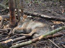 Kolejny wilk wpadł we wnyki. Uratowali go leśnicy [FILM]