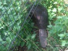 Bóbr utknął w ogrodzeniu
