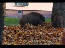 Siedem dzików biegało po ulicach Olsztyna [WIDEO]