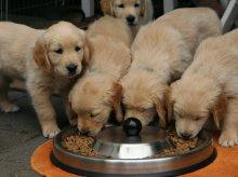 Szukasz smacznej i zdrowej karmy dla psa? Acana spełni Twoje wymagania