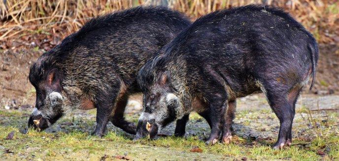 W Olsztynie powiedzą ''nie'' dla masowego odstrzału dzików