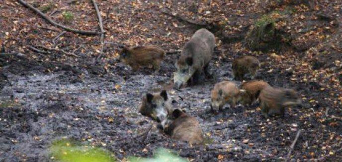 Artykuł: Policzyli dziki [FILM]