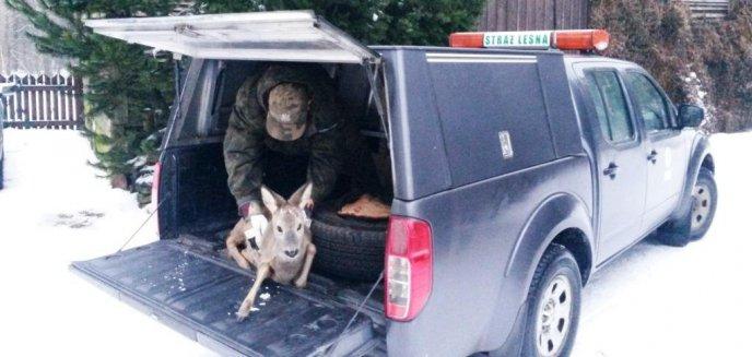 Artykuł: Leśnicy uratowali młodego samca sarny