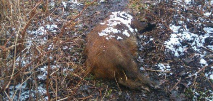 Artykuł: Kolejny martwy dzik w okolicy rzeki