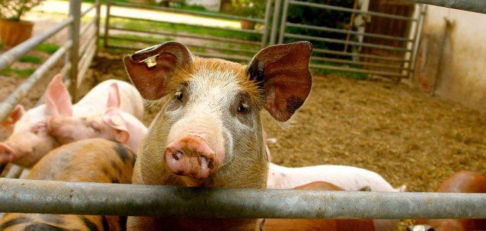 Artykuł: Opieszałość ministra w zwalczaniu epidemii afrykańskiego pomoru świń. Tracą lokalni rolnicy