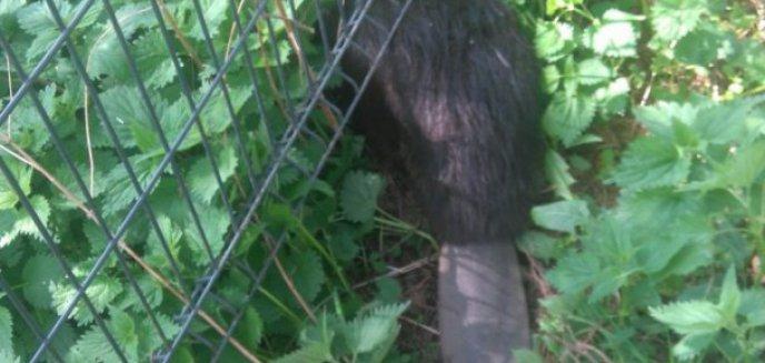 Artykuł: Bóbr utknął w ogrodzeniu