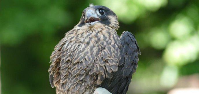 Artykuł: Leśnicy przywracają populację ptaków, które kiedyś prawie wyginęły