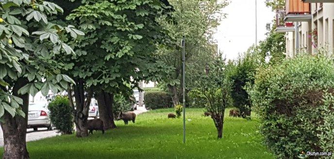 Artykuł: Dziki na dobre zadomowiły się na olsztyńskim Zatorzu [WIDEO]