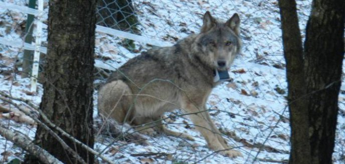 Artykuł: Leśnicy z Olsztynka wilka wyleczyli i wypuścili do lasu, a kłusownik go zabił