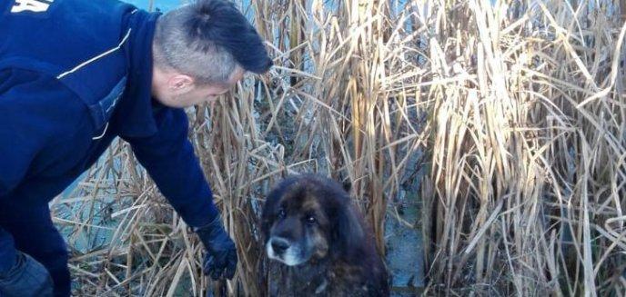 Artykuł: Pies utknął na mokradłach. Policjanci z pomocą przyszli w ostatniej chwili