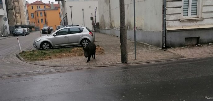 Dzik biegał po Śródmieściu