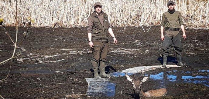 Artykuł: Bohaterska postawa leśników. Uratowali uwięzionego w bagnie jelenia [ZDJĘCIA]