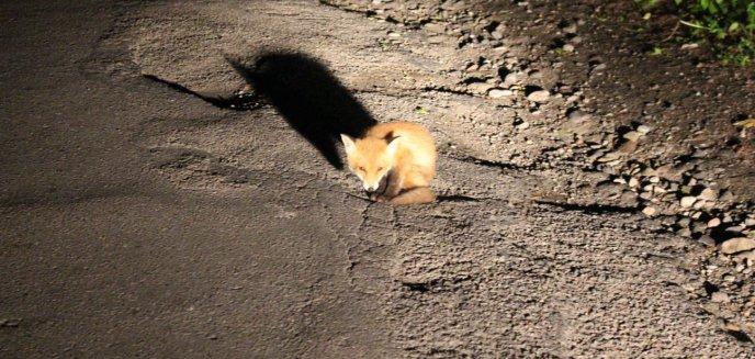 Artykuł: Młody lisek codziennie o tej samej porze siedzi przy drodze pod Olsztynem. Wyczekuje matki?