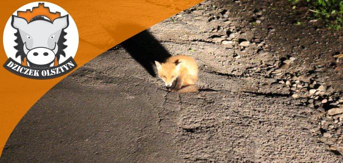 Młody lisek codziennie o tej samej porze siedzi przy drodze pod Olsztynem. Wyczekuje matki?
