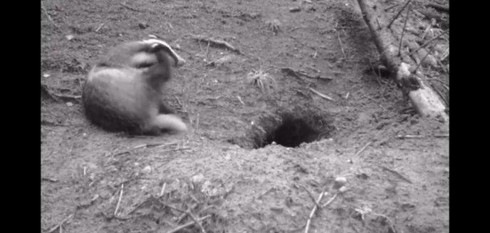 Artykuł: W podolsztyńskich lasach można spotkać nie tylko dzika [WIDEO]