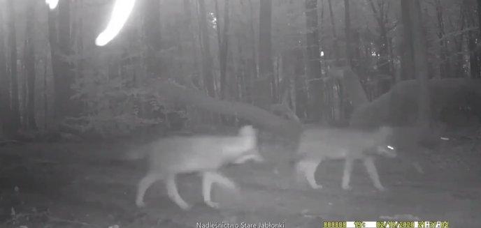 Niezwykłe nagranie leśników. Młody wilk chciał zjeść... fotopułapkę [WIDEO]