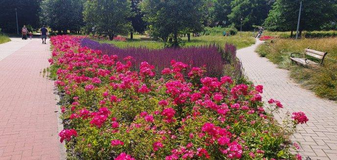 Artykuł: Olsztyn pięknieje. Miasto chwali się nowymi kwiatami i trawami [ZDJĘCIA]