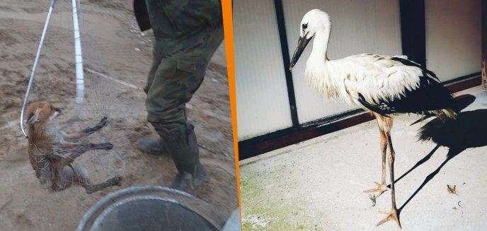 Artykuł: Niecodzienne interwencje ze zwierzętami. Uratowano lisa i bociana [ZDJĘCIA]