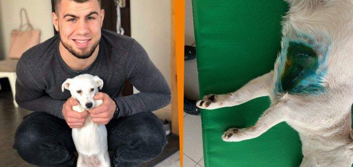 Artykuł: Dzik zaatakował głuchego pieska. Jego właściciel, olsztyński zawodnik MMA, Paweł Kiełek, żąda usunięcia dzików z miasta