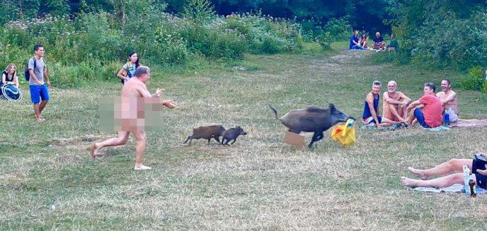 Nagi mężczyzna biegał za dzikami po plaży. Zwierzęta ukradły mu torbę