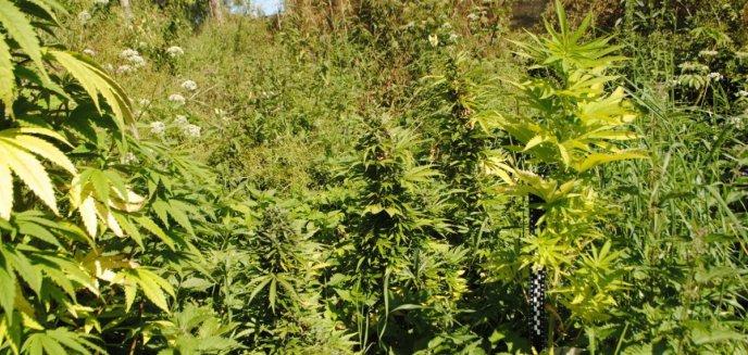 Artykuł: Pod Olsztynkiem uprawiał egzotyczne rośliny. Biznes zepsuli mu policjanci