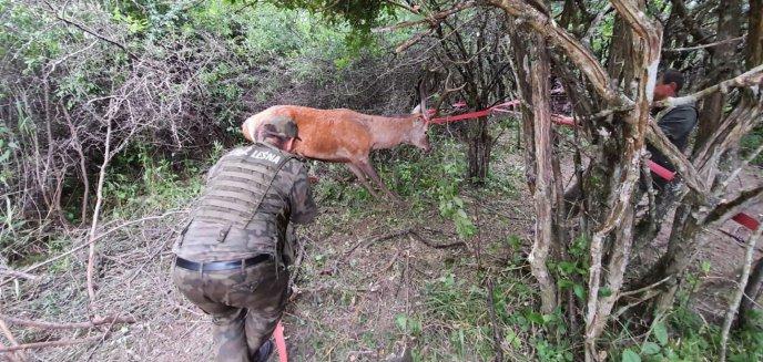 Artykuł: Jeleń wpadł w pułapkę pod Olsztynem. Pomogli leśnicy i policjanci [WIDEO]