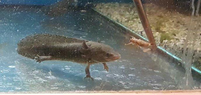 Artykuł: Wąż boa, salamandry i żółw stepowy, czyli nielegalne okazy zwierząt w sklepach w Elblągu