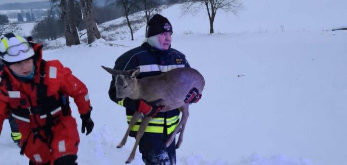 Artykuł: Strażacy-ochotnicy z Bartąga pod Olsztynem uratowali ranną sarnę [ZDJĘCIA]