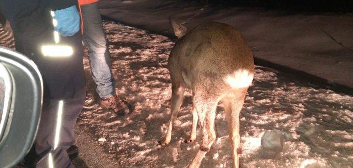 Przestraszony i ranny koziołek leżał przy drodze w okolicach Ełku