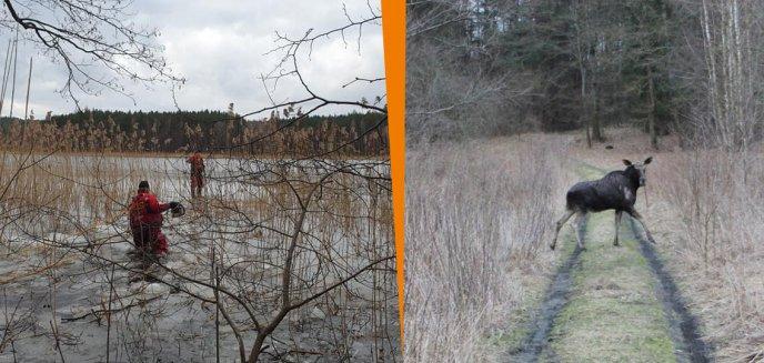 Artykuł: Gmina Barczewo. Łoś tonął w jeziorze Wadąg [ZDJĘCIA]