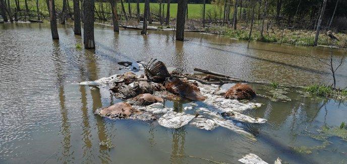 Artykuł: Makabryczne znalezisko w lesie pod Bartoszycami. Ktoś wyrzucił szczątki bydła [ZDJĘCIA]