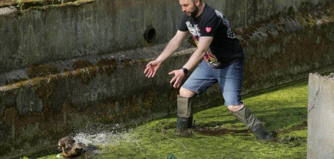 Artykuł: Kortowo. Uratowali kaczątka, które wpadły do betonowego zbiornika [ZDJĘCIA]