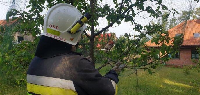 Artykuł: Strażacy z Kieźlin uratowali dzięcioła zaplątanego w siatkę