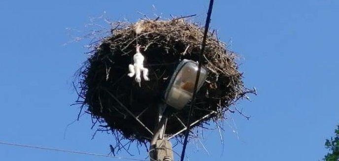 Artykuł: Mały bocian zwisał na sznurku i prawie wypadł z gniazda. Na pomoc ruszyli strażacy [ZDJĘCIA]