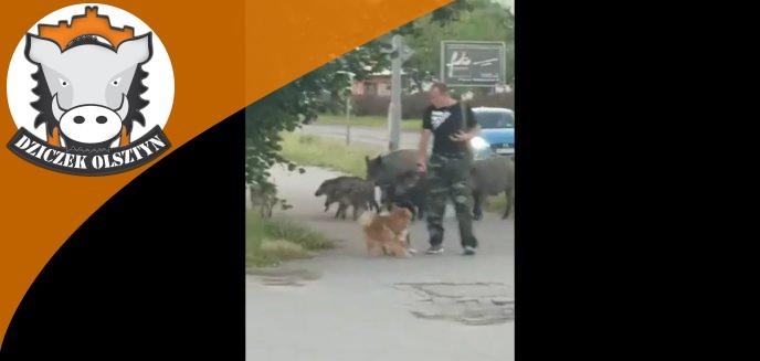 Dziki goniły mężczyznę spacerującego z psami na ul. Dworcowej w Olsztynie [WIDEO]