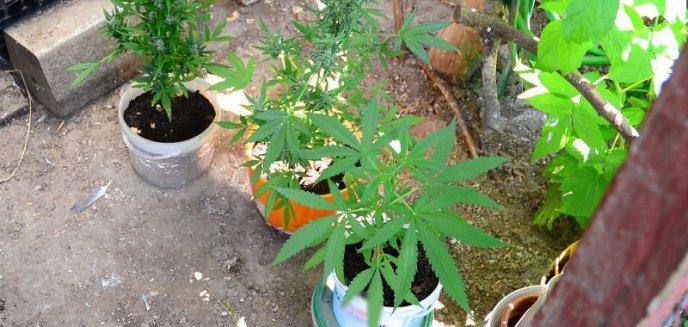 Artykuł: Braniewo. W gołębniku zamiast gołębi hodował... marihuanę. Był dumny z pięknych roślinek